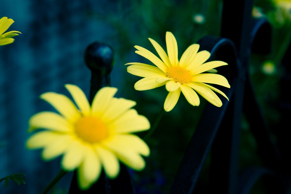 Daisies in Beacon Hill by alissawilkinson