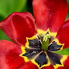Inside a Red Tulip by Gerda Grice