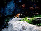 tiger by ianmwalker