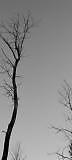 tall tree by ianmwalker