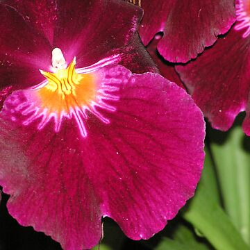 Iris by kateilles