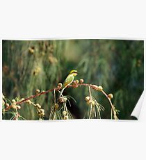 Yellow green Bee eater little bird sitting on a branch. Poster