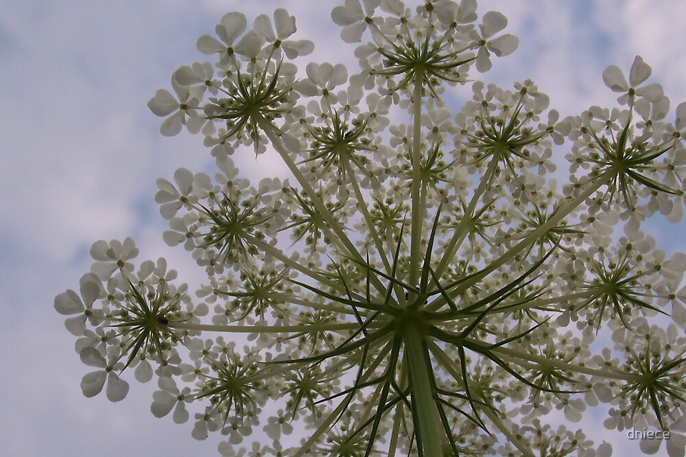 Queen Anne's Lace by dniece