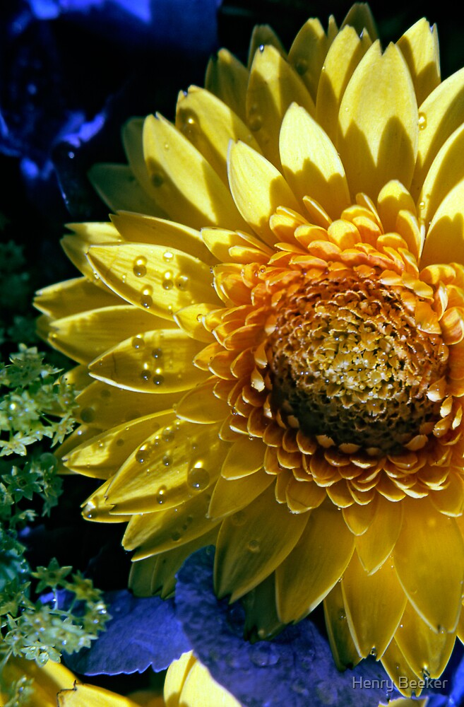 Bright Yellow Sunflower by Henry Beeker
