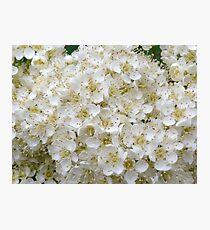 Flowering Rowan Photographic Print