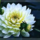 Beautiful white dahlia on dark background by gameover