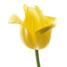 Lemon Tulip 2 by Ann Garrett