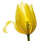 Lemon Tulip by Ann Garrett