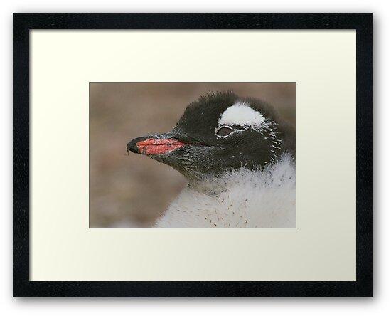 Gentoo Chick by Steve Bulford