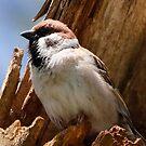 Eurasian Tree Sparrow by Dennis Cheeseman
