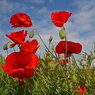 Poppies by RedHillDigital