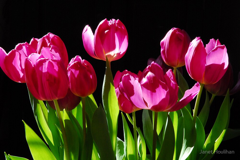 Tulips by Janet Houlihan
