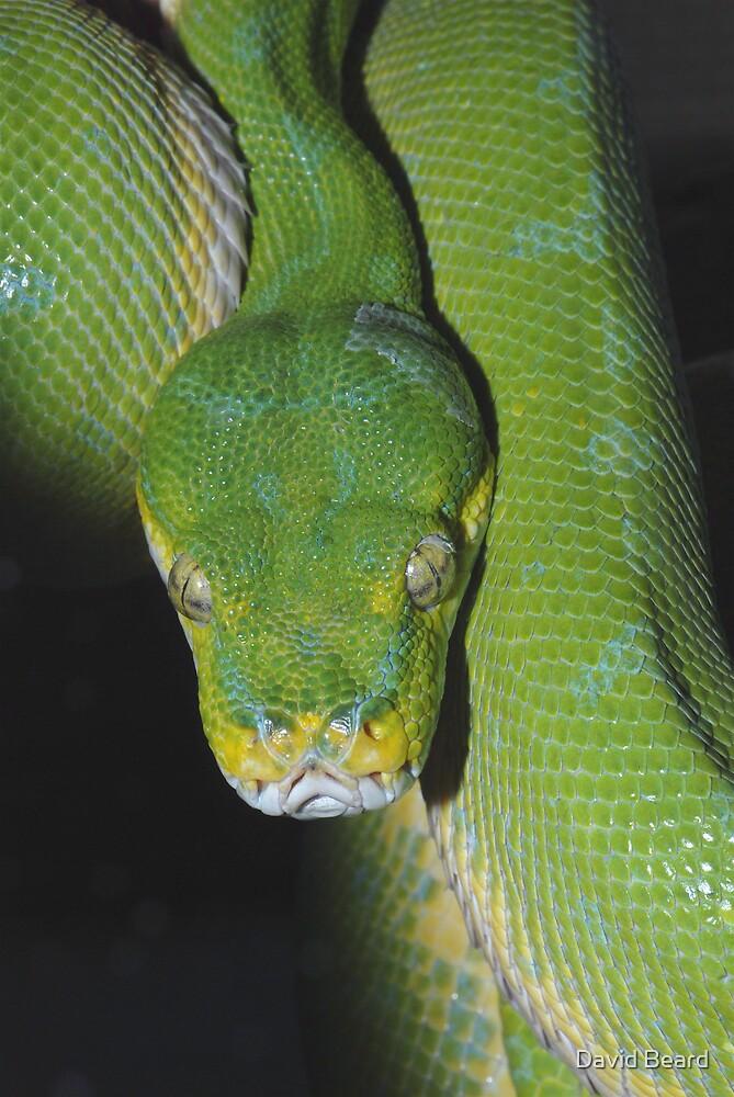 Green Tree Python by David Beard