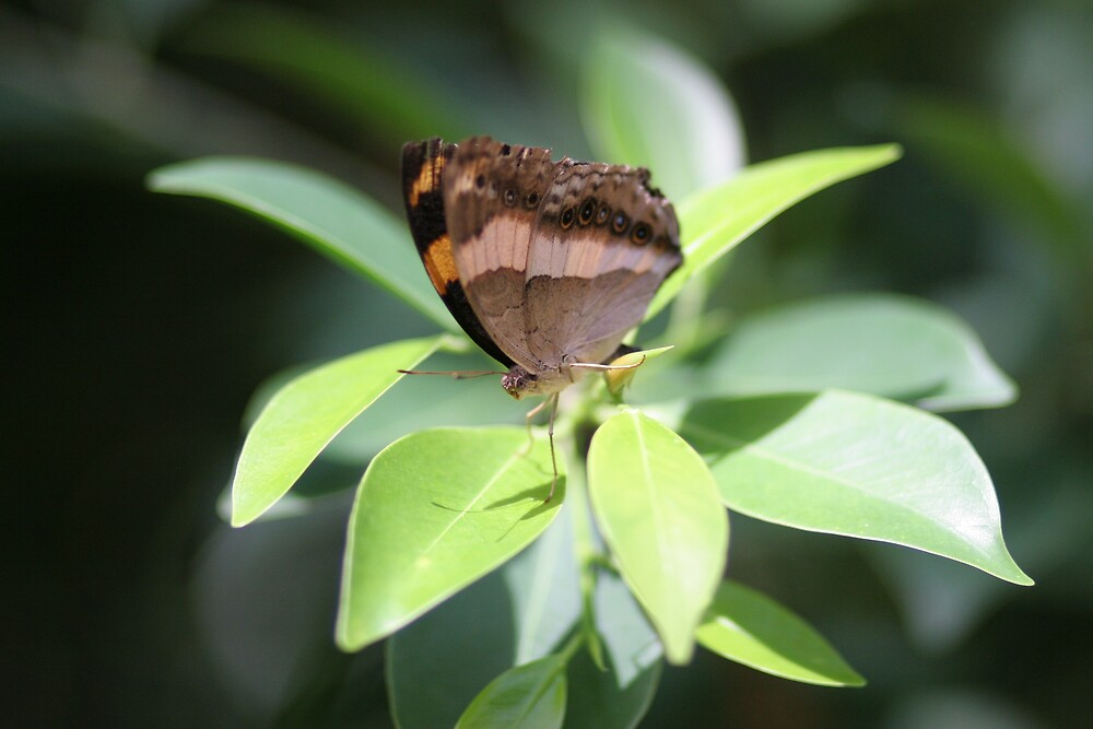 Just Resting - Butterfly House Melb Zoo by JCRPhotos