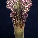 Up close (Sarracenia sp.) by photogenicgreen