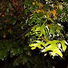 Wet Leaves by trisha22