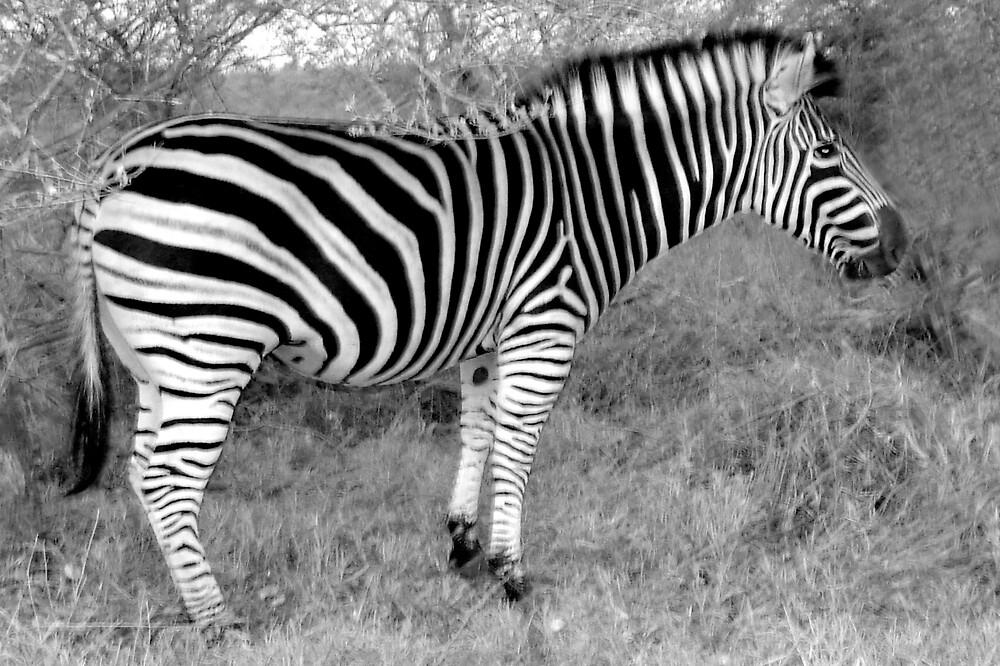 Zebra Movement II by Paul Lindenberg