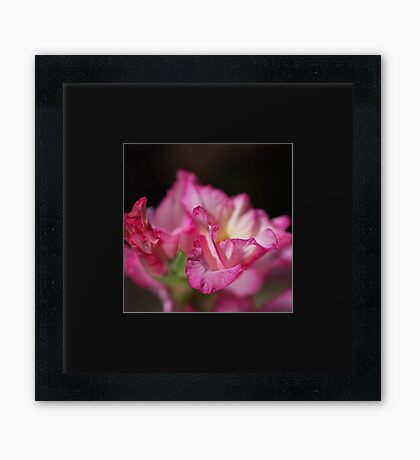 Beautiful Pink Gladiolus Flower Petals Framed Print