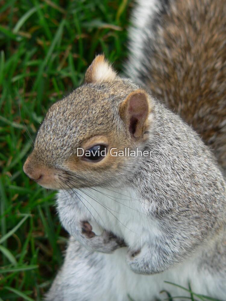 squirrel by David Gallaher