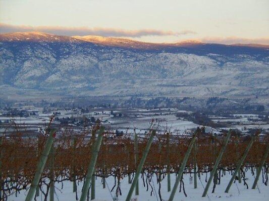 Icewine Grapes with a view. by minddrift
