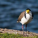 Masked Lapwing Bird 01 by kevin chippindall