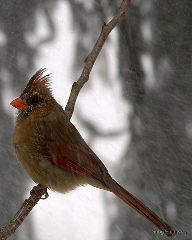 Female Cardinal by Gabriele Swanson