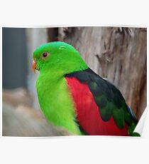 I Wear A Hi-Viz Safety Vest - Red Winged Parrot - NZ Poster