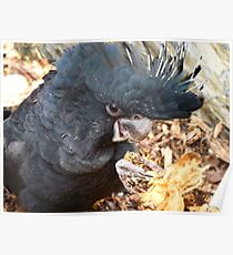 Did You Bring The Preening Equipment? - Black Red Tailed Cockatoo Poster