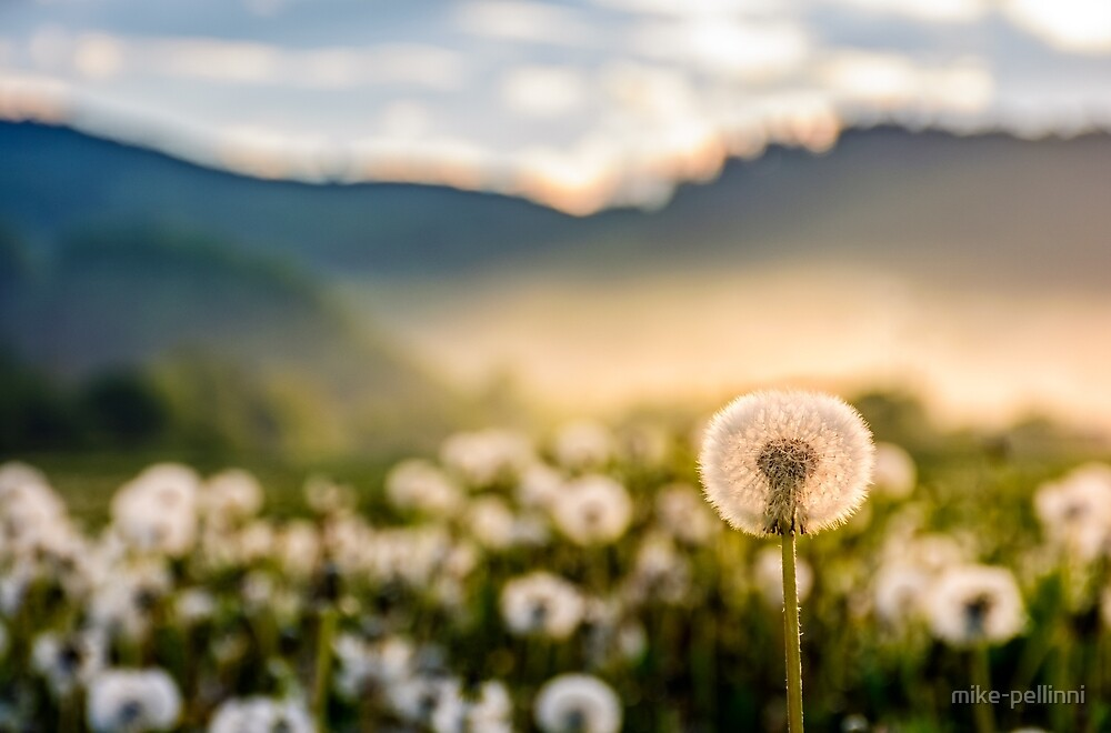 dandelion at foggy sunrise in mountains by mike-pellinni