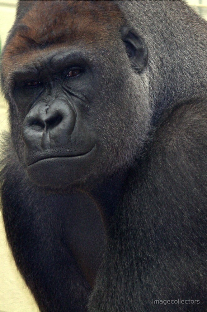 Gorilla One by Imagecollectors