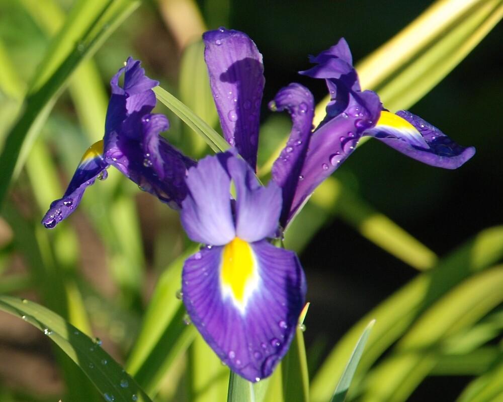 Iris by Deby Moehnke