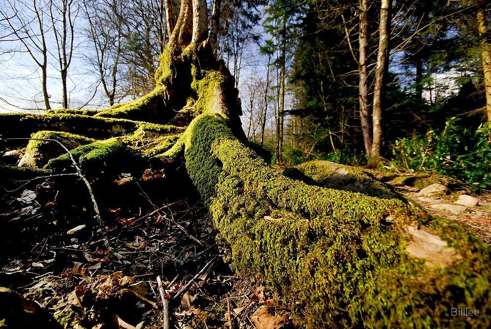 Tree root with moss.. by Billlee