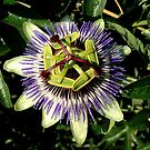 Passion Flower by Billlee