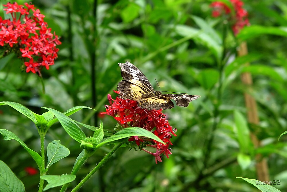 Butterfly on Red Flowers by shane22