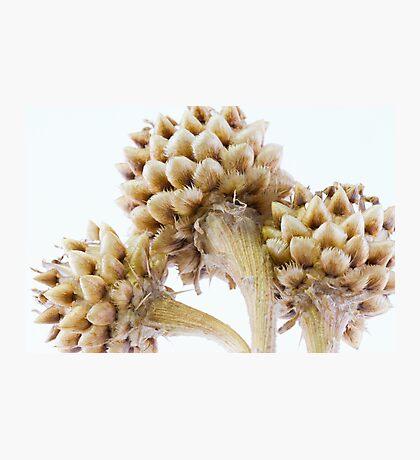 Three Globe Cornflower Seed Heads - Macro Photographic Print