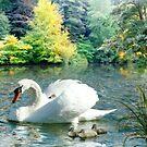 Swan & Cygnets by Morag Bates