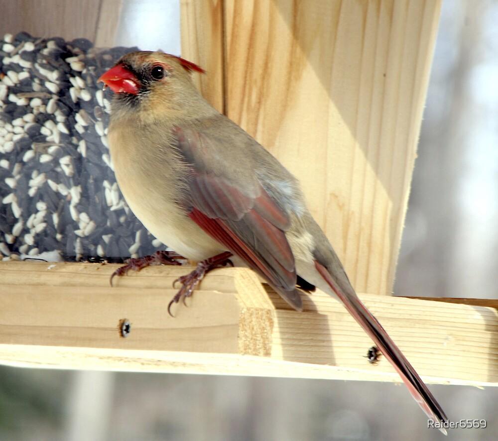 Female Cardinal by Raider6569