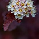 Physocarpus Opulifolius (but I shall call it the Buttered Popcorn Flower) by alan shapiro