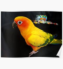 Who Spilt The Beans? - Sun Conure - NZ Poster