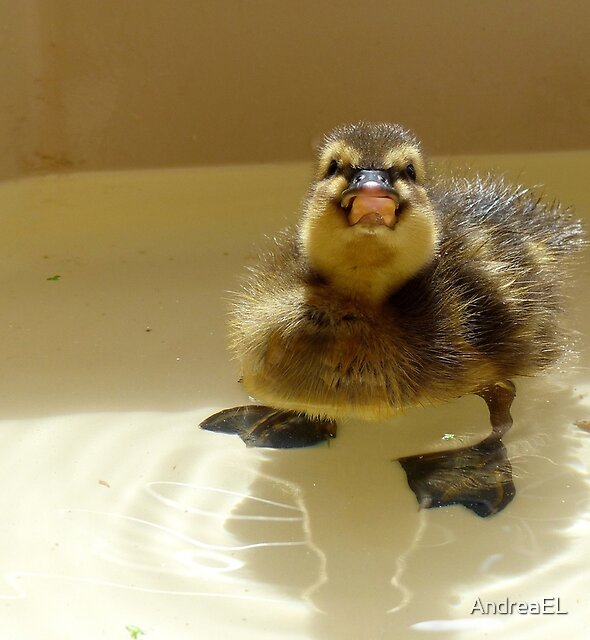 NO.... I'm Not Coming Out!!! - Mallard Duckling - NZ by AndreaEL