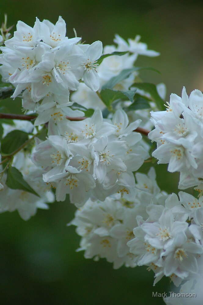 White flowers by Mark Thomson