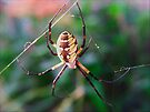 Black and Yellow Garden Spider by G. David Chafin
