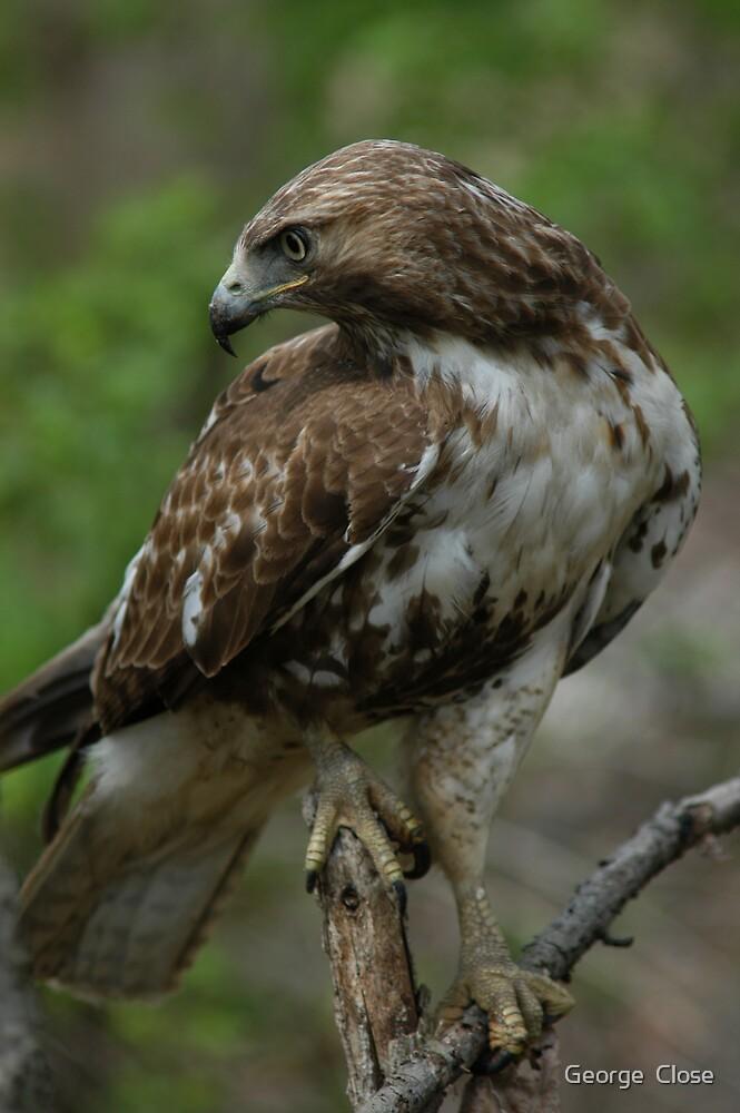 wild hawk by George  Close