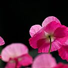 Pink Poppies by LawsonImages