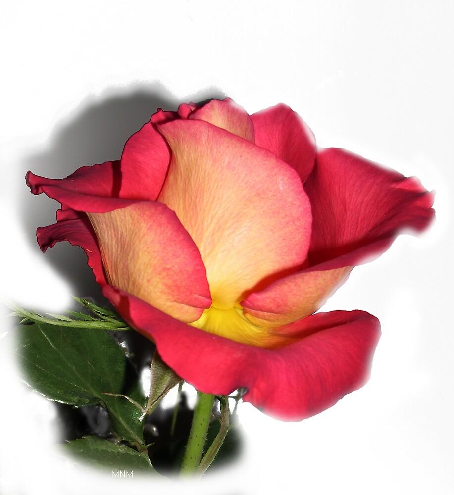 Pink Rose by KnockKnockPhoto