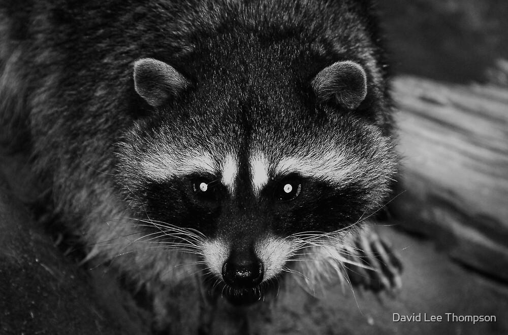 """Racoon Eyes"" by David Lee Thompson"