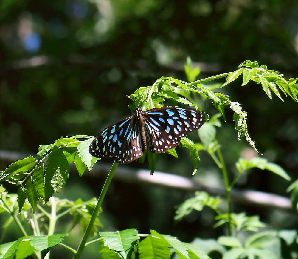 Blue Tiger ButterFly by MacLeod