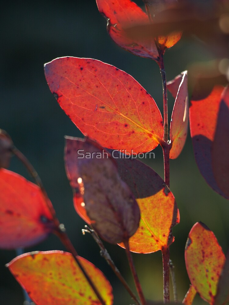 Eucalypt Leaves by Sarah Clibborn