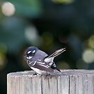 Australian Fantail 01 by kevin chippindall