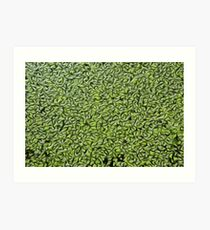 Common Duckweed (Lemna minor) oil paint effect abstract Art Print